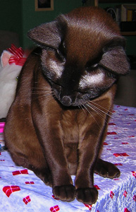 Cat Has Thinning Hair In Front Of Her Ears