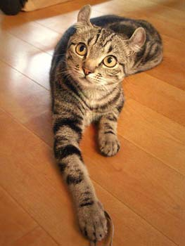 american curl cat breed by