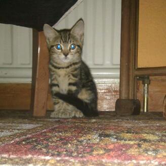 Holly A Tabby Kitten