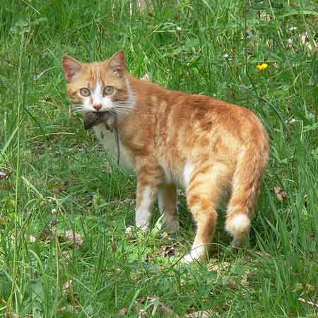 Best Cat Breed For Hunting Mice