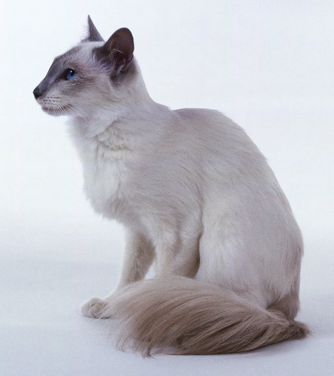 The Balinese Cat Breed A So Known As Javanese