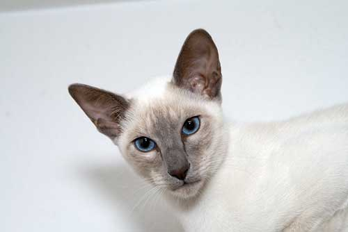 How To Keep A Siamese Cat Happy