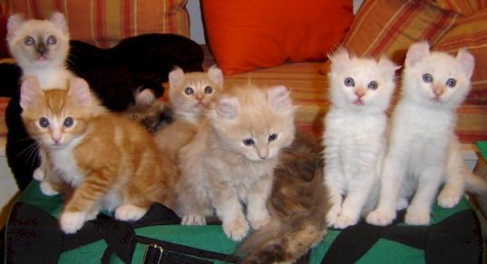 American Curl Kittens
