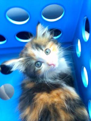 Jasmine my kitten in the milk crate we got her in