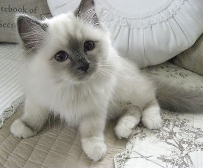 Which Cat Breed Has Hair Not Fur