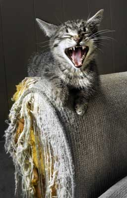 siberian house cat