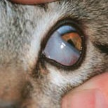 flea allergy dermatitis home remedy cats