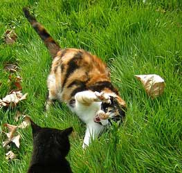 Aggressive Cat Behavior Why Do Some Cats Attack Other