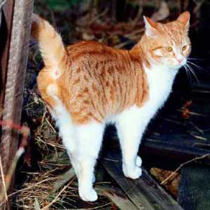 Male Cat Breeds That Don T Spray