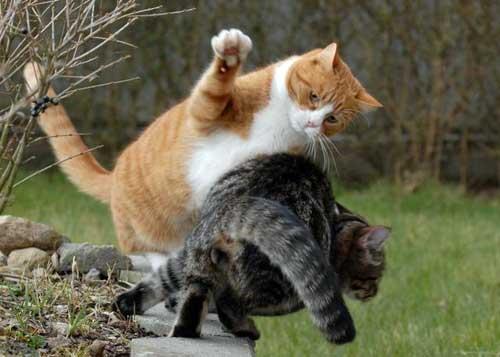 Почему кошка агрессивная коты дерутся рыжий и серый битва котов