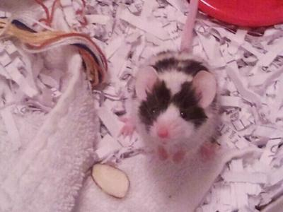 Moosie our mouse
