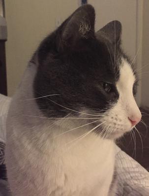 Greyson the cat