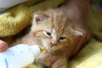 orphan kitten