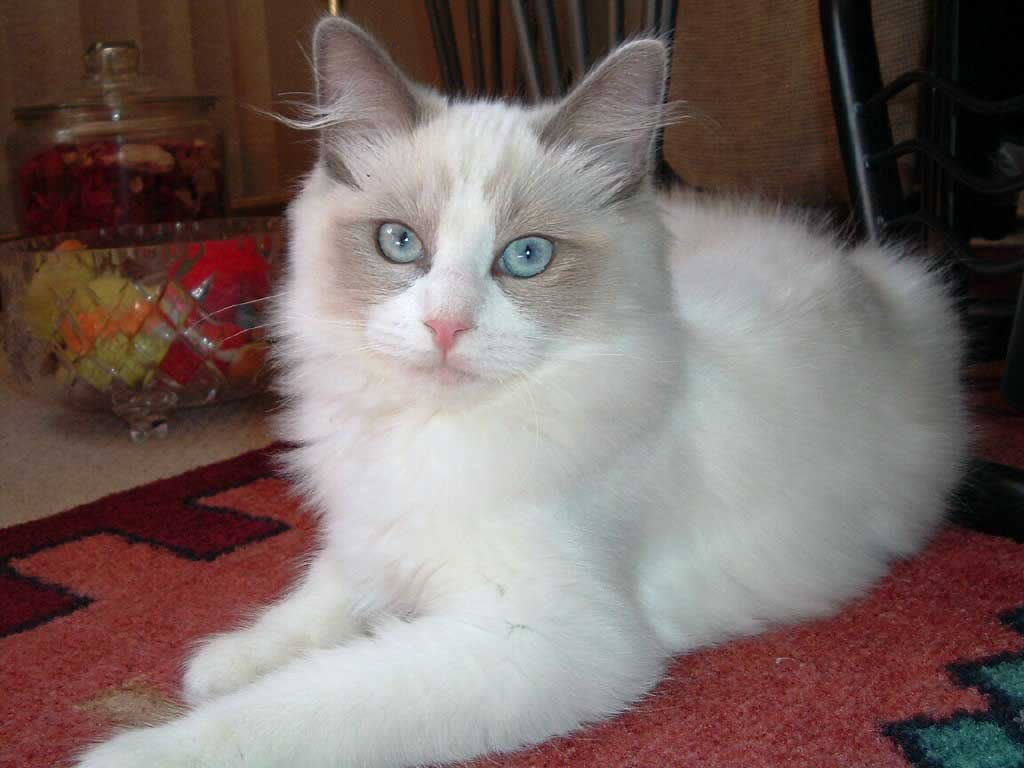 The Ragdoll Cat Breed