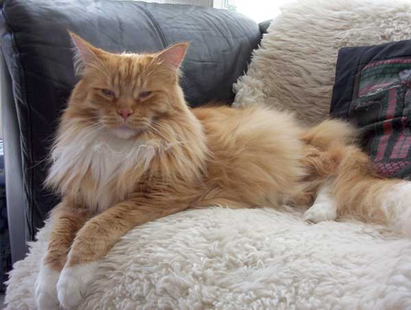 the maine coon cat breed. Black Bedroom Furniture Sets. Home Design Ideas