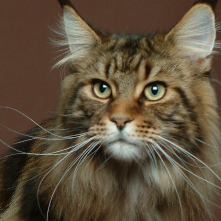 How Long Do Main Coon Cats Live For