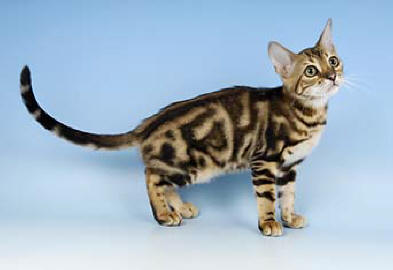Pictures Of Domestic Bengal Cats