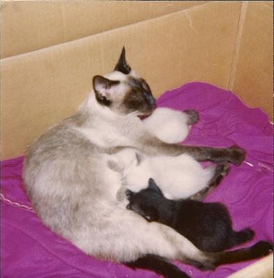 Siamese mother cat