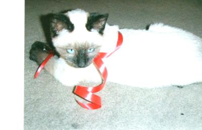 ragdoll kittens for sale in indiana
