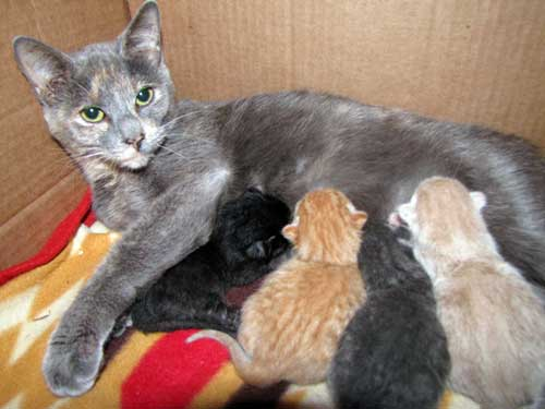 How Long Does Cats Give Birth