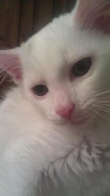 Lulu or white cat