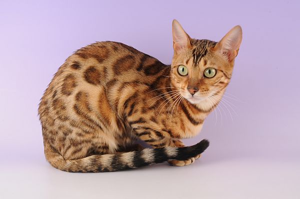 The Ocicat Cat Breed