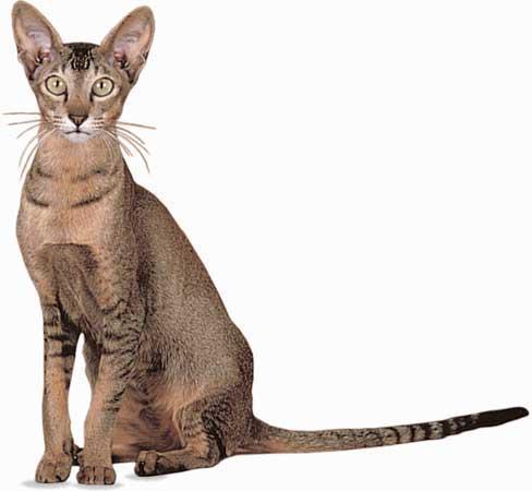 Long Thin Cat Breeds