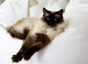 ragdoll-cat-stretching.jpg