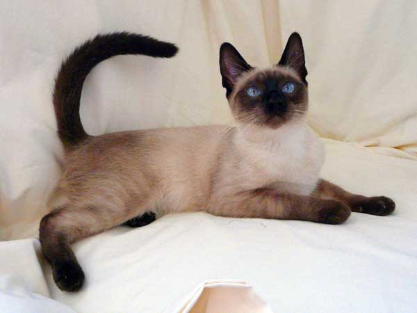 the siamese cat breed