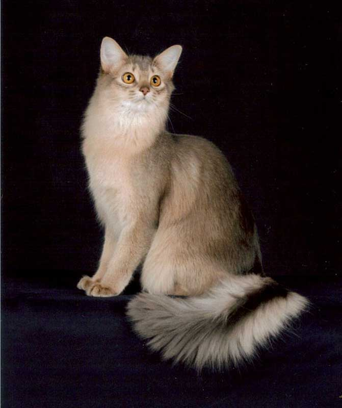 Pics For gt Silver Somali Cat : somali cat standing from pixshark.com size 671 x 800 jpeg 31kB