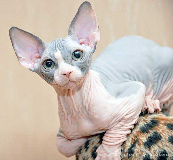 The Sphynx Cat Breed Info