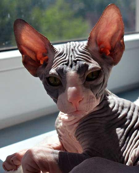 bengal cat breeders missouri