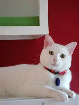 american shorthair white - photo #11