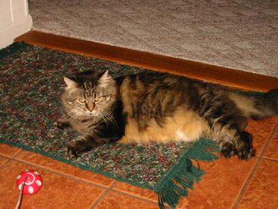 Tillie my Maine Coon