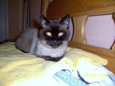 My Siamese cat