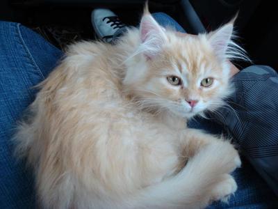 I'm a wild Siberian kitty!