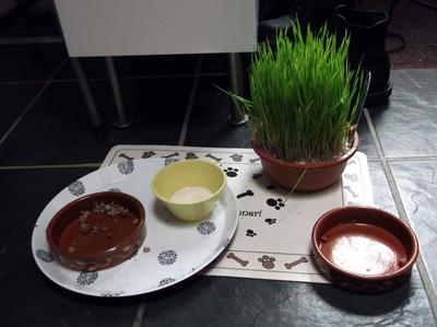 The Kitty Grass At The Cats Feeding Bowls