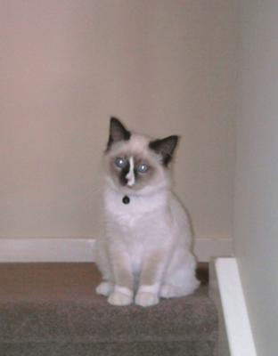 spankz my ragdoll cat